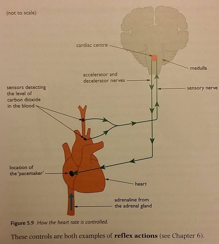 The Structure and Function of the Human Heart - IGCSE BIOLOGY