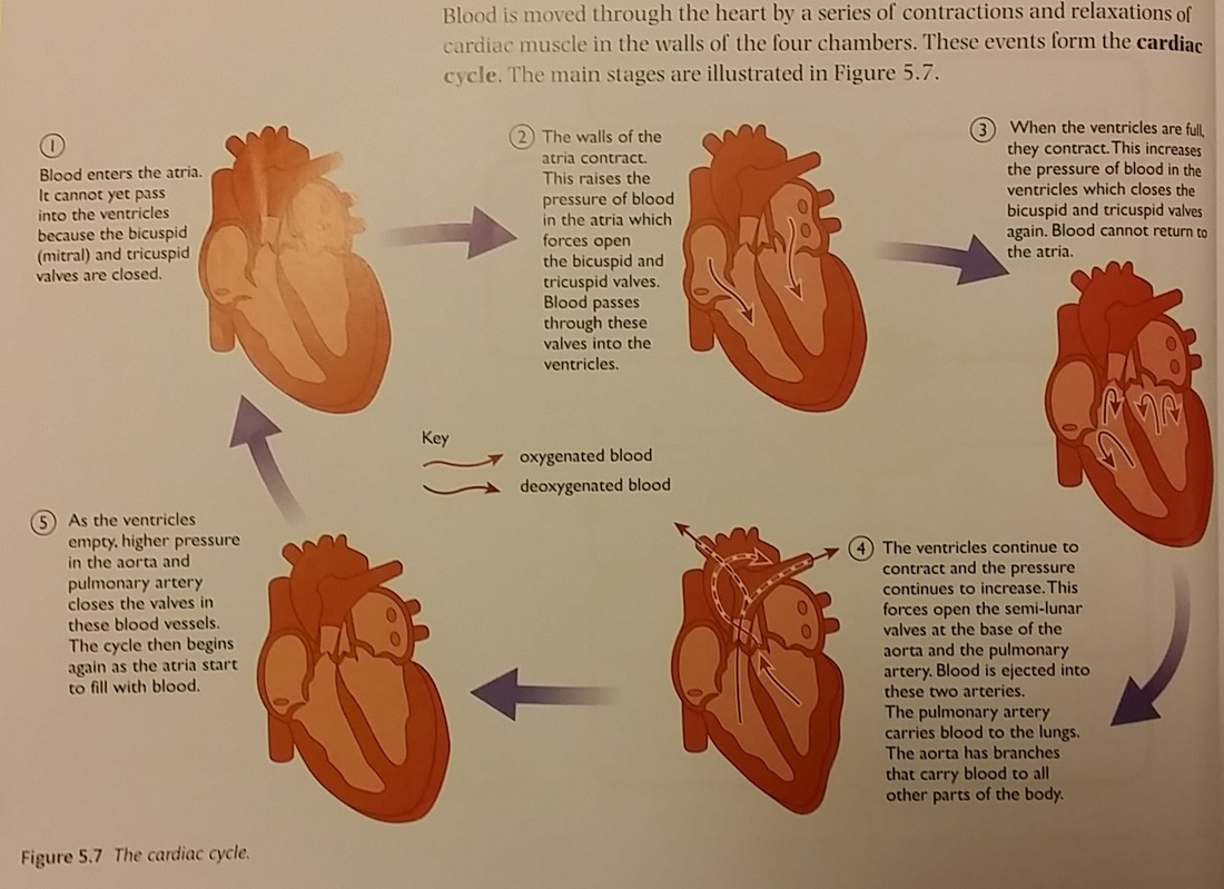 The Structure And Function Of The Human Heart Igcse Biology